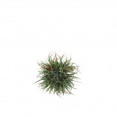 Tillandsia Ball